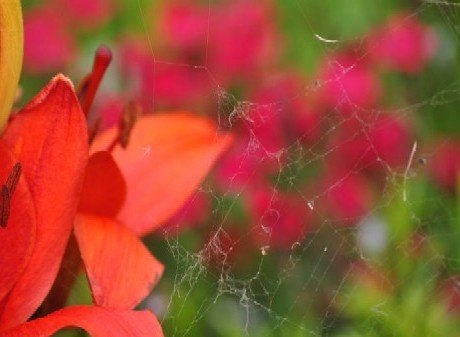 Web of a Banded Garden Spider on an Asiatic Lily