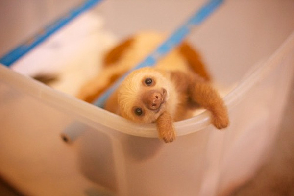 adorable_cute_baby_sloth