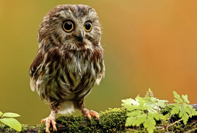 babyowl