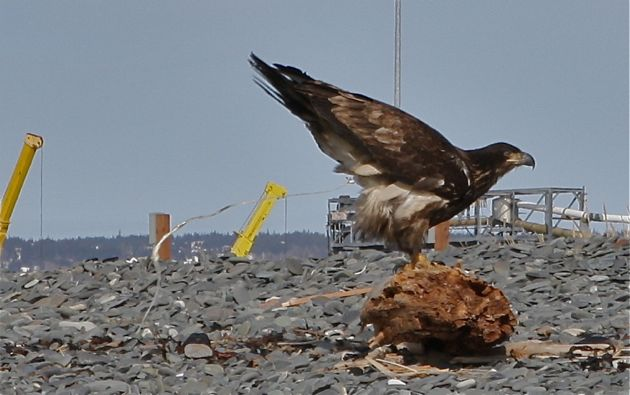 You're going to have to forgive me for this one. But if you actually get the money shot of an eagle projectile pooping, you just have to share. I like to think this is his opinion of the giant jack-up oil rig sitting in the bay at the moment.