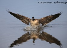 Canada Goose Landing, 2013 Frozen Feather Images