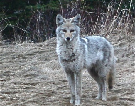 coyote2