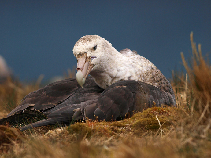 Southern Giant Petrel, South Georgia Island