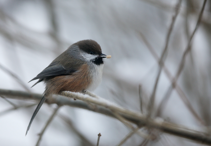 Boreal Chickadee, Fairbanks, December 2013