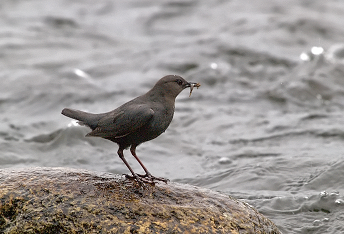 American Dipper with a Snack