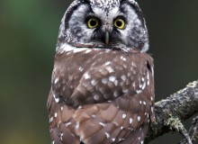 Male Boreal Owl, Fairbanks