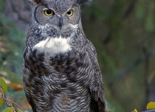 Great-horned Owl Female