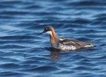 Red-necked Phalarope Female