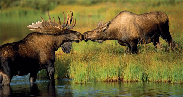 MooseKissing