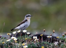 Northern Wheatear, Eagle Summit, Steese Highway