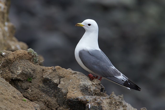 Red-legged Kittiwake, St. Paul Island, Pribilof Islands