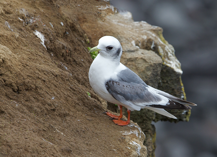 Red-legged Kittiwake First Year Bird, St. Paul Island