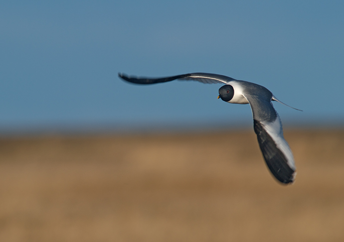 Sabine's Gull in Flight, Yukon Delta National Wildlife Refuge