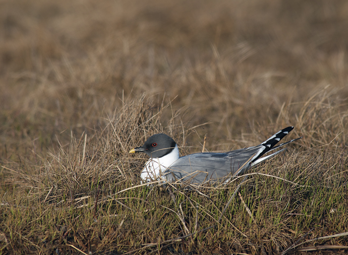 Sabine's Gull on Nest, Yukon Delta National Wildlife Refuge