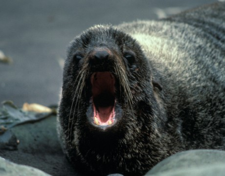 Fur_Seal,_Alaska_Maritime_National_Wildlife_Refuge