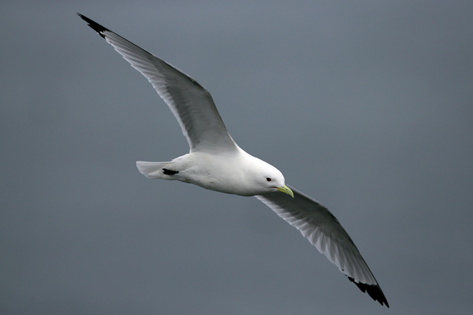 Black-legged Kittiwake in Flight, St. Paul Island