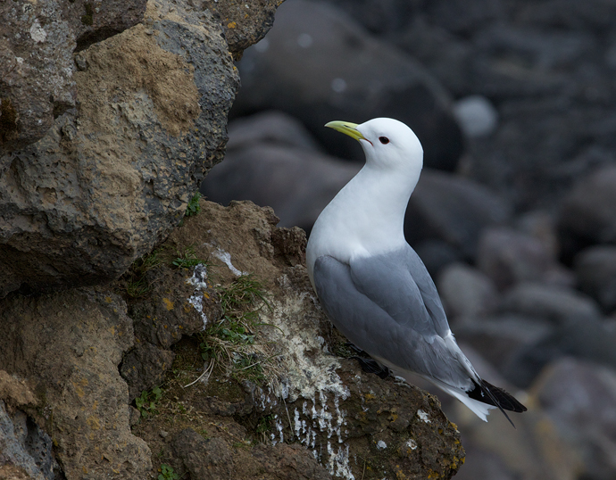 Black-legged Kittiwake, St. Paul Island