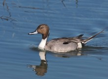 Northern Pintail Drake, Creamer's Refuge, Fairbanks