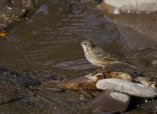 American Pipit, North Fork Chena River, Fall 2014