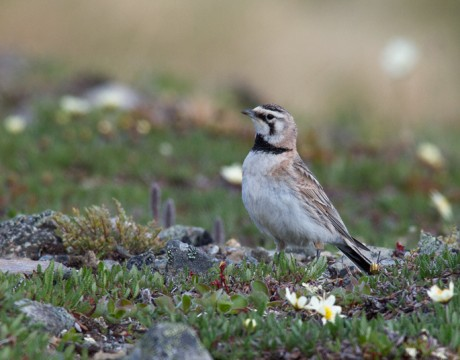 Horned Lark, Denali Highway, Spring 2011