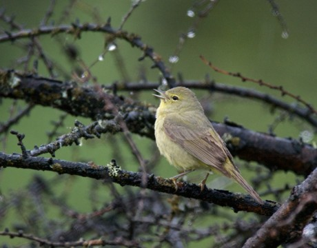 Orange-crowned Warbler, Rock Creek, Denali Highway