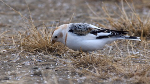 Snow Bunting, South Fairbanks, Early Spring 2012