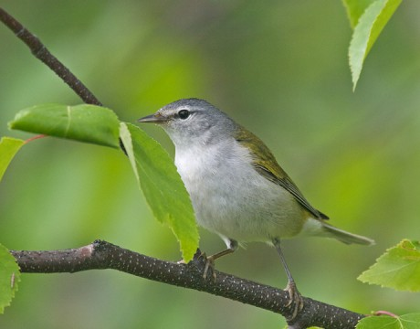 Tennessee Warbler, Sheep Creek Road, Fairbanks