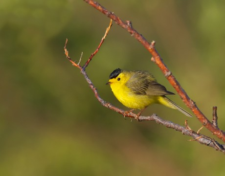 Male Wilson's Warbler, Denali Highway