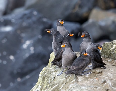 Crested Auklets, St. Paul Island, Pribilof Islands