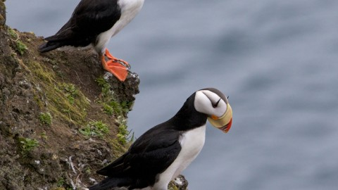 Horned Puffins, St. Paul Island, Pribilof Islands