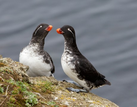 Parakeet Auklets, St. Paul Island, Pribilof Islands