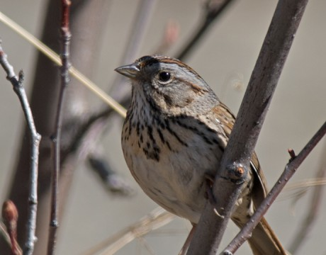 Lincoln's Sparrow, Peat Ponds, Fairbanks, Alaska