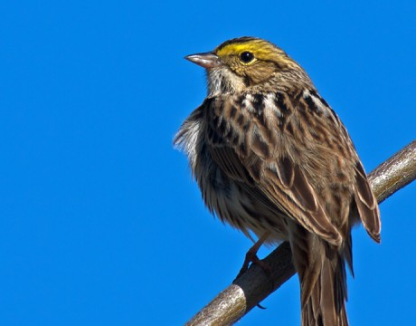 Savannah Sparrow, Steese Highway, Alaska