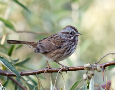 Song Sparrow, Copper River Delta, Alaska