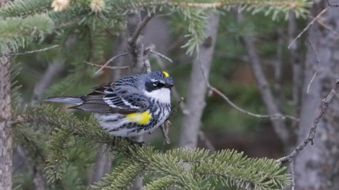 Yellow-rumped Warbler, Spring Migration, Delta Barley Project