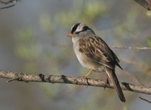 White-crowned Sparrow, East Denali Highway