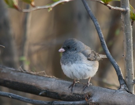 Dark-eyed Junco, Fairbanks, Alaska