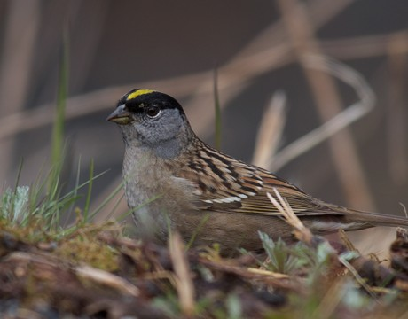 Golden-crowned Sparrow, Cordova, Alaska