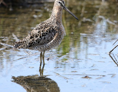 Greater Yellowlegs, Westchester Lagoon, Anchorage