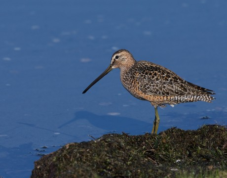Long-billed Dowitcher, Peat Ponds, Fairbanks