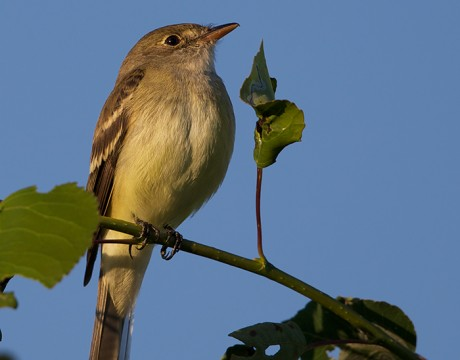 Alder Flycatcher perched in, yes, Alder, Fairbanks