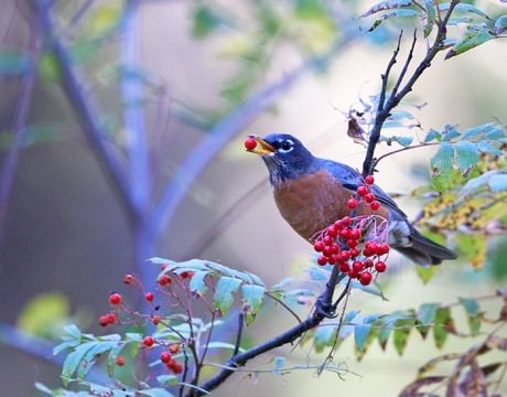 American Robin feeding on Mountain Ash