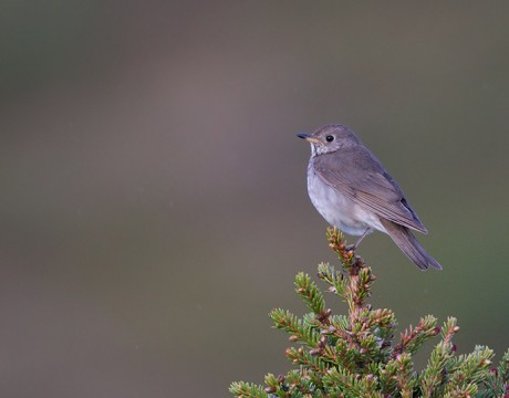 Grey-cheeked Thrush, Denali Highway