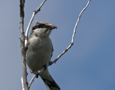 Northern Shrike, Denali Highway