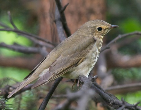 Swainson's Thrush, Borgesson Botanical Garden, Fairbanks