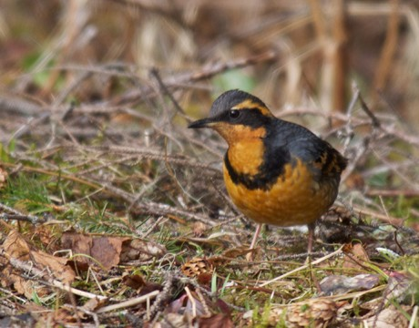 Varied Thrush Male, Cordova, Alaska