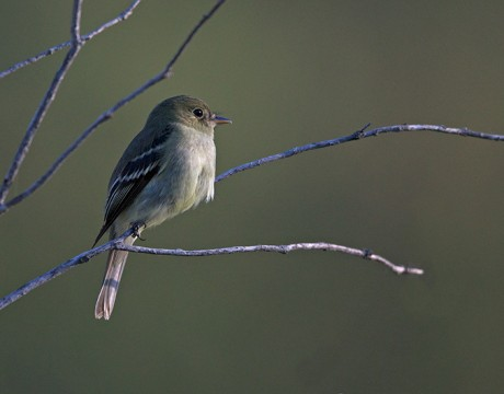 Yellow-bellied Flycatcher, Steese Highway