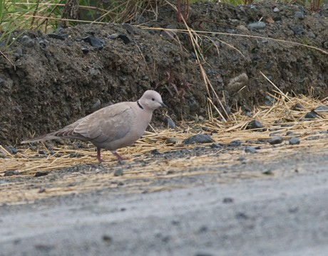 Eurasian Collared-Dove, Denlai Highway, June 2009