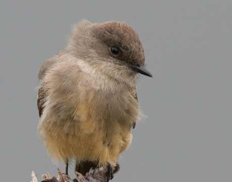 Say's Phoebe, Steese highway