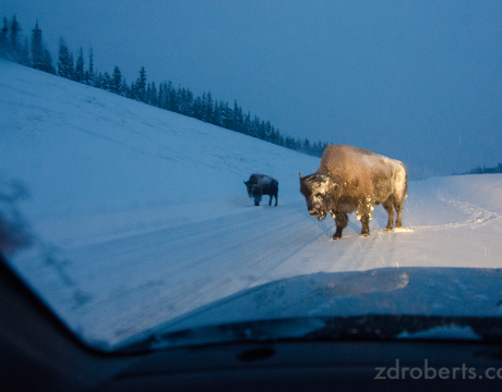 A small herd of bison block the road in the early morning. Taken somewhere on the Alaska Highway between Watson Lake and Fort Nelson.